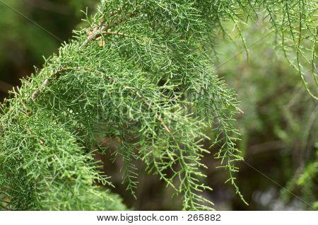 Close Up Detail Of Huon Pine (lagarostrobos Franklinii)