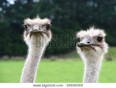 Heads of Two Humorous Looking Ostriches