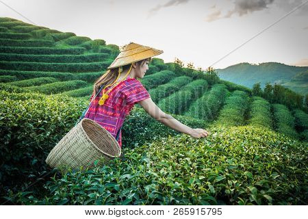 Women In Local Hill Tribe Holding Young Green Tea Leaves On Hill In The Evening With Sunset Ray At D