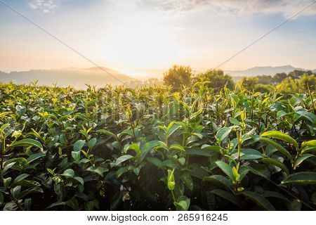 Tea Leaves In Morning At 101 Tea Plantation In Bright Day On Blue Sky Background , Tourist Attractio