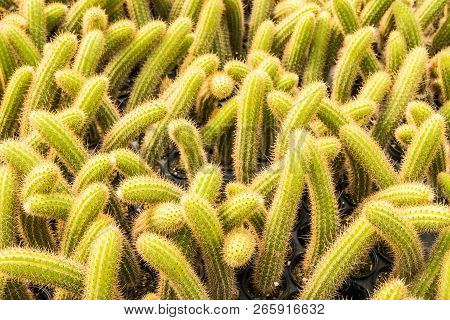 Cactus Many Variants In The Pot For Planting Arranged In Rows Select And Soft Focus. Cactus Backgrou