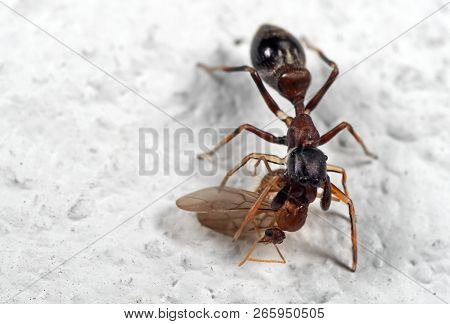 Macro Photography of Ant Mimic Jumping Spider Biting on Prey on White Floor poster