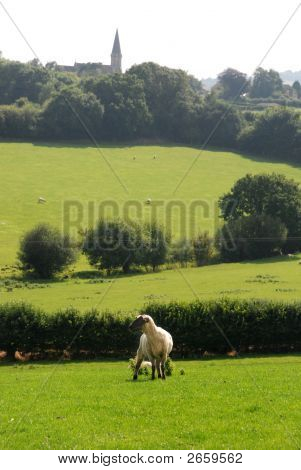 sheep with village and church steeple in distance poster