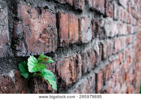 A Small Sprout Sprouted In The Masonry Of The Old Wall
