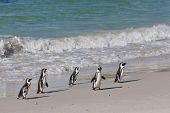 African penguins (spheniscus demersus) at the Boulders colony in Cape Town, South Africa. poster