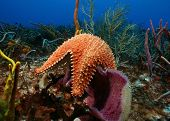 Sea Star crawling over a sponge - Cozumel, Mexico poster