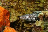 Spotted Moray (Gymnothorax moringa) looking out from a coral reef - Cozumel, Mexico poster