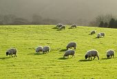 Sheep grazing in a lush green grass field in Wales UK. poster