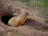 prairie dog coming out of his barrow poster