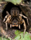 Big South Russian spider Tarantula in a hole poster