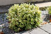 Wintercreeper or Euonymus fortunei or Spindle or Climbing euonymus or Fortunes spindle or Winter creeper evergreen shrub plant with green to yellow elliptic to elliptic-ovate leaves with finely serrated margins growing as small bush next to stone tiles si poster