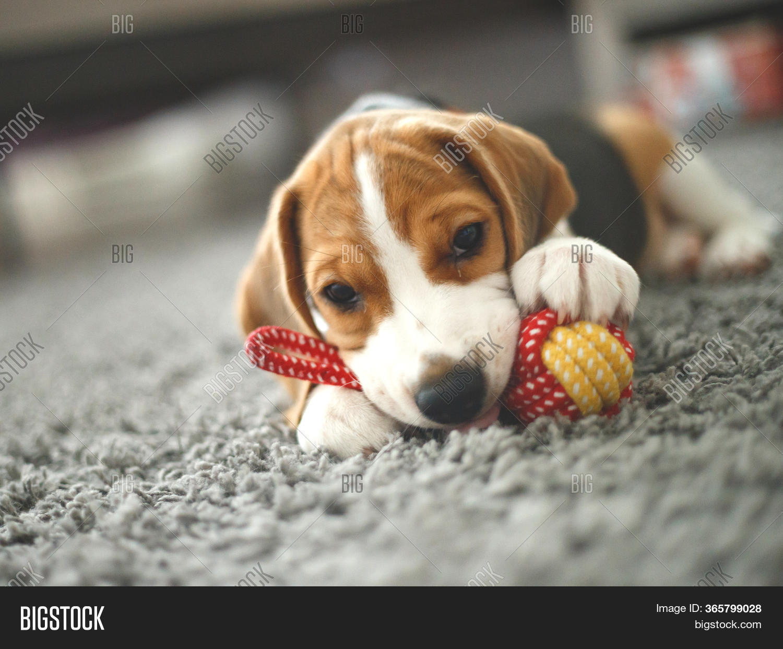 Cute Beagle Puppy Lies Image Photo Free Trial Bigstock