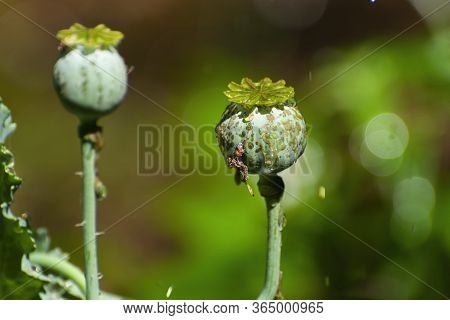 Round, Green, Odd Looking Opium Poppy Seed Pod With Water Drops From A Sprinkler In A Botanical Gard