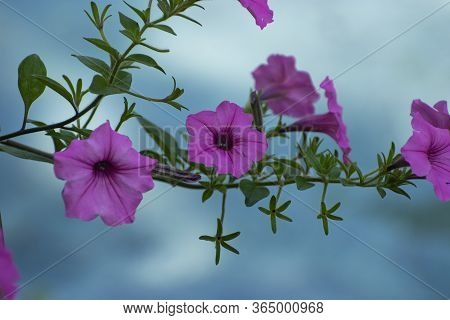 A Cluster Of Bright Pink Morning Glory Flowers On A Branch Hanging Over The Water Of A Pond Creating