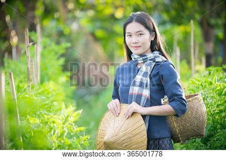 Asian Woman With Traditional Dress Is Harvesting Chilli In The Farm,rural Scene