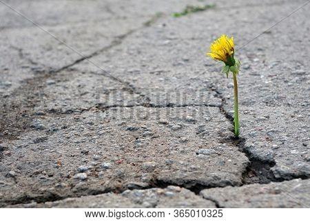 The Triumph Of Life. Dandelion Growing In The Crack Of Asphalt. Cracked Asphalt. Selective Focus. Co