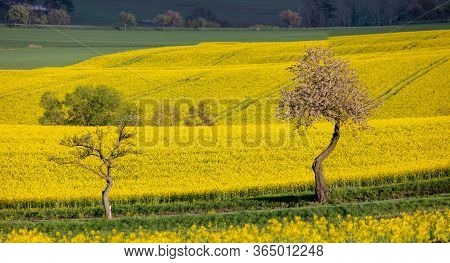 Curves And Lines Of Summer Rural Landscape With Rape Field And White Flowering Cherry Tree. Rural La