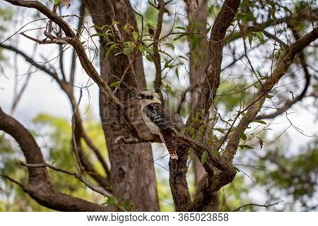 A Kookaburra Sitting On A Tree Branch In Its Natural Bushland Environment