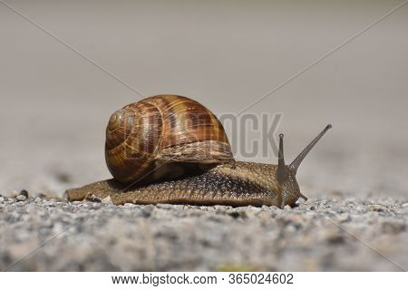 Big Snail In Shell Crawling On Road. Burgundy Snail Helix Pomatia Or Oman Snail, Burgundy Snail, Edi