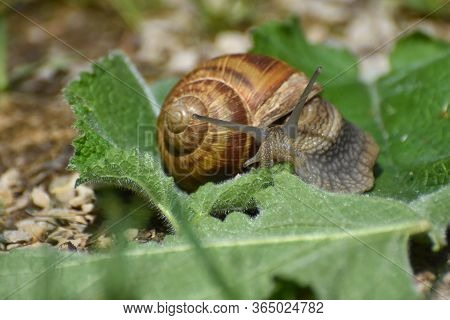Big Snail In Shell Crawling On Leaf In Garden. Burgundy Snail Helix Pomatia Or Oman Snail, Burgundy