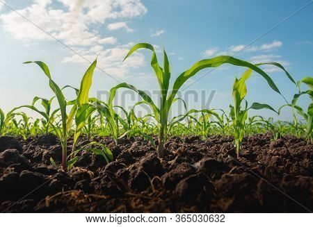 Maize Seedling In The Agricultural Garden With Blue Sky