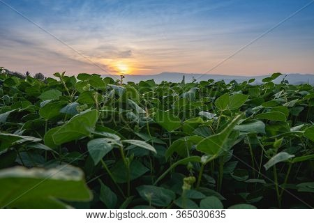 Mung Bean In The Agricultural Garden With Light Shines Sunset