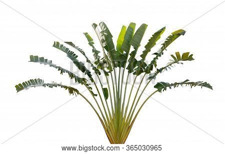Ravenala Madagascariensis With Leaves Resembling Banana Leaves Isolated On White Background Is An Or