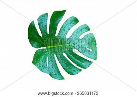 Green Wet Monstera Leaf Isolated On White Background, The Plant Can Absorb Toxins And Purify The Air