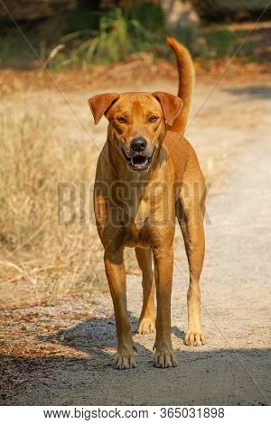 The Brown Dog Is Standing On The Floor Looking Back.
