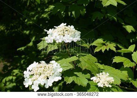 3 Corymbs Of White Flowers Of Viburnum Opulus In Mid May