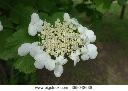 Closeup Of Corymb Of White Flowers Of Viburnum Opulus In Mid May