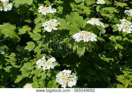 Numerous Corymbs Of White Flowers Of Viburnum Opulus In Mid May
