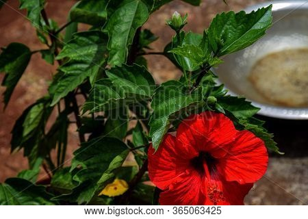 Top View Of Red Hibiscus Or Rose Mallow Flower
