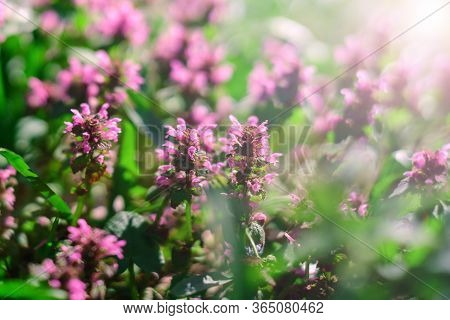 Thyme In The Rays Of The Day Sun. Thyme Is A Genus Of The Family Lamiaceae.