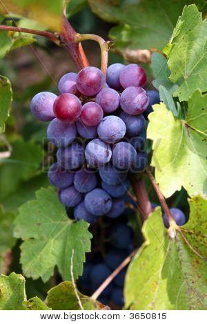 Grape Ready To Go