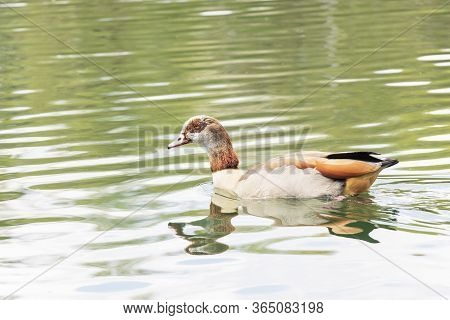 Close Up  Of The Egyptian Goose (alopochen Aegyptiaca) Is A Member Of The Duck, Goose, And Swan Fami