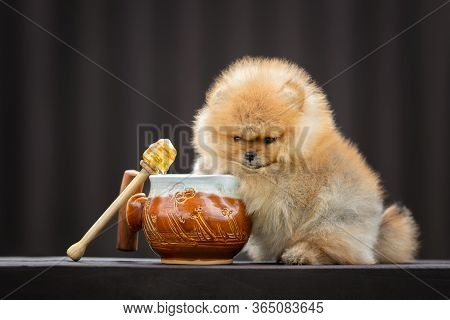 Funny Pomeranian Spitz Puppy Posing With A Honey Pot Outdoors In Summer