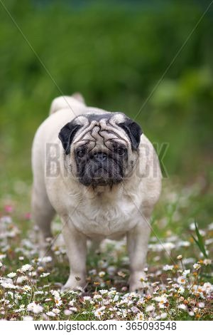 Adult Pug Walk Through The Flower Field