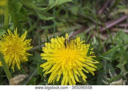 Close Up Of Bee On Yellow Dandelion Flower. Yellow Dandelion Flower On Green Background In Spring Su