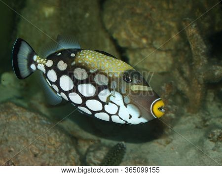 Black Fish With Large White Spots And Yellow Mouth Balistoides Conspicillum On A Background Of Gray-