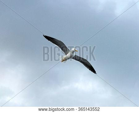 Seagull Lesser Black-backed Gull Larus Fuscus One Flying In The Sky. Seagull Concept