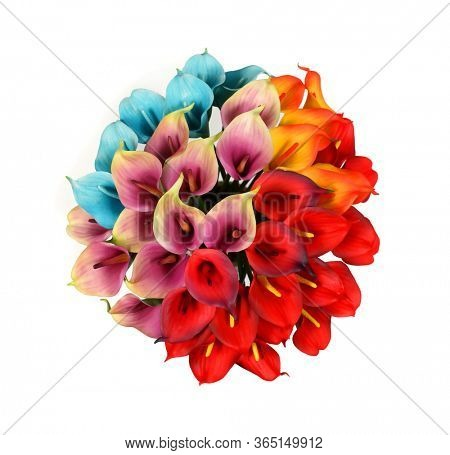 Colored Calla lilies on a white background. St. Valentine's Day. Beautiful  flowers