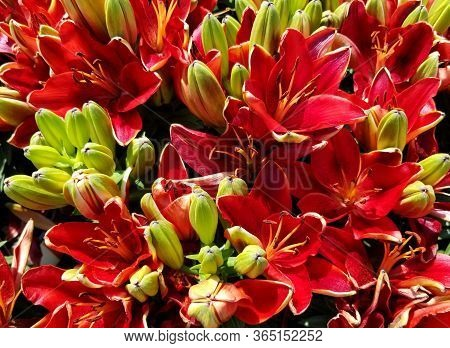 A Bunch Of Bright Red Asiatic Lily Fragrant Flowers