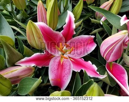 Bright Pink And White Oriental Lily Flowers At Full Bloom