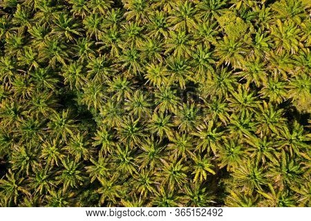 Oil Palm plantation from above. Aerial drone view of palm trees