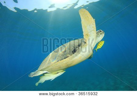 Underwater photo of Green Sea Turtle (Chelonia mydas) and Remora Fish with sunbeams