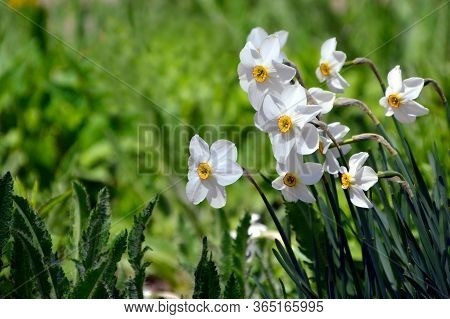 Narcissus Poeticus Flower On Green Background With Copy Space