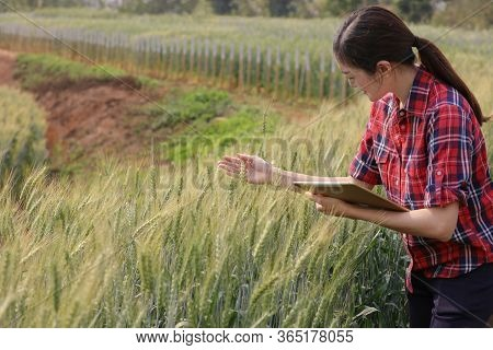 Farmer Barley Crop Field Plantation Checking Quality Of New Varieties Of Barley By Tablet Agricultur