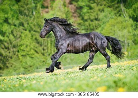 Black Friesian Stallion Gallops At Sunset Summer