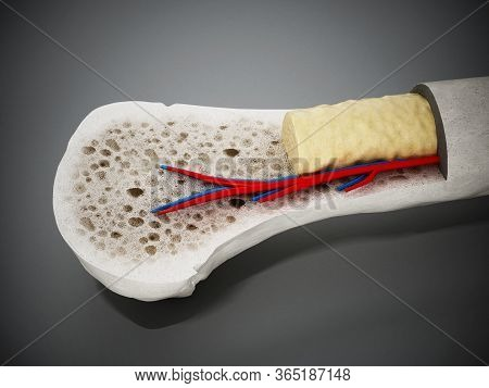 Cross Section Of A Human Bone Showing Bone Marrow, Spongy Bone And Blood Vessels. 3d Illustration.